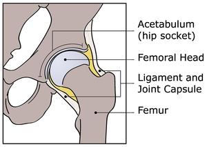 hip-anatomy-300px